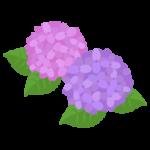 ピンクと紫の紫陽花のイラスト