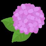 ピンクの紫陽花のイラスト