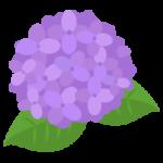 紫の紫陽花のイラスト